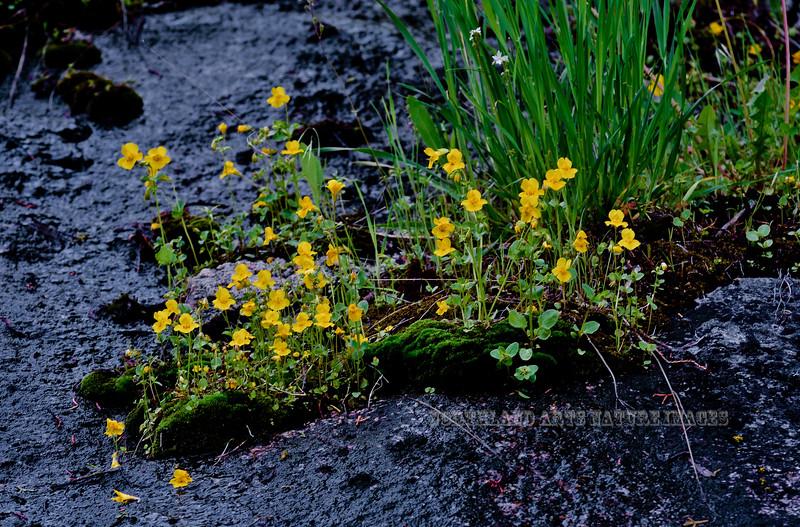 WY-F-Mimulus guttatus 2019.6.20#266, the Yellow Monkey Flower. Lamar Canyon, Yellowstone Park Wyoming.