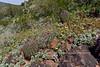 AZ-DS-Desertscape 2019.3.10#010. Eschscholzia Poppy species showing with some Ferocactus barrels. Near Lake Pleasant Arizona.