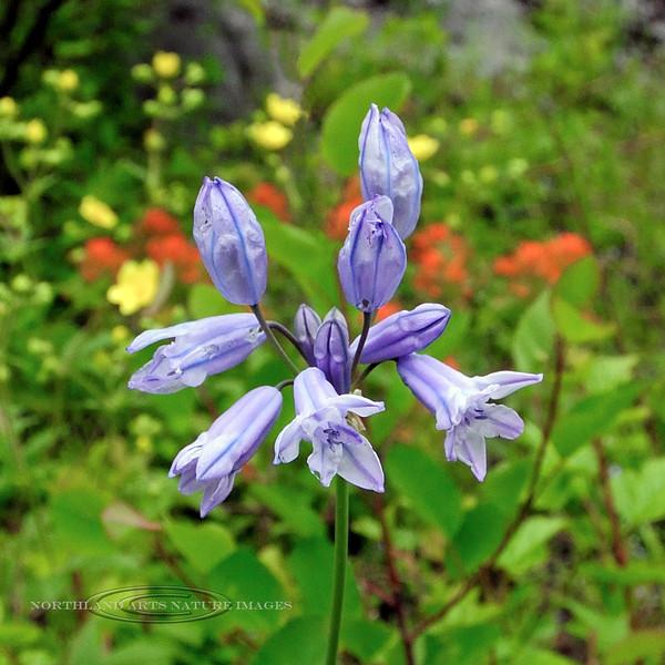 ID-F-Brodiaea douglasii 2012.6.18#028. White Hyacinth. Clearwater Forest near Grangeville Idaho.