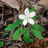 PA-F-Anemone quinquefolia 2008.4.21#064, the Wood Anemone. Lake Warren, Bucks County Pennsylvania.