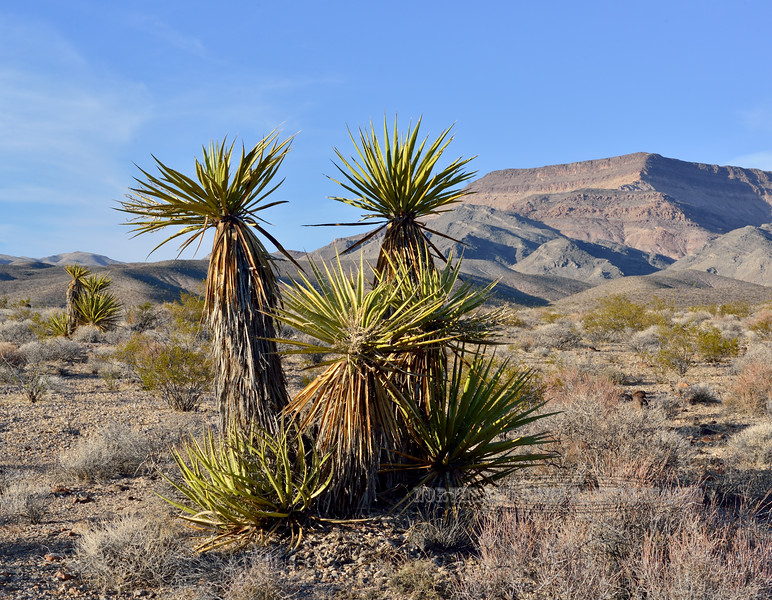 NV-AOY-Yucca schidigera 2018.6.29#5905. The Mohave Yucca. Route 93, north of Las Vegas Nevada.