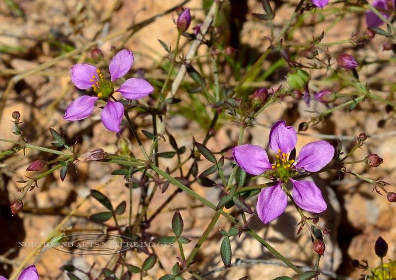 AZ-TS-Fagonia laevis, Fagonbush. 2020.2.25#6226.4. In the King Valley of the Kofa Nat.Wildlife Refuge in Arizona.