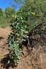AZ-TS-Nicotiana glauca 2021.5.13#0707.2. Tree Tobacco. Hassayampa Arizona.