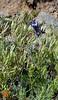 WY-F-Clematis hirsutissima 2019.6.20#1649, Sugarbowl. Mount Washburn, Yellowstone Park Wyoming.