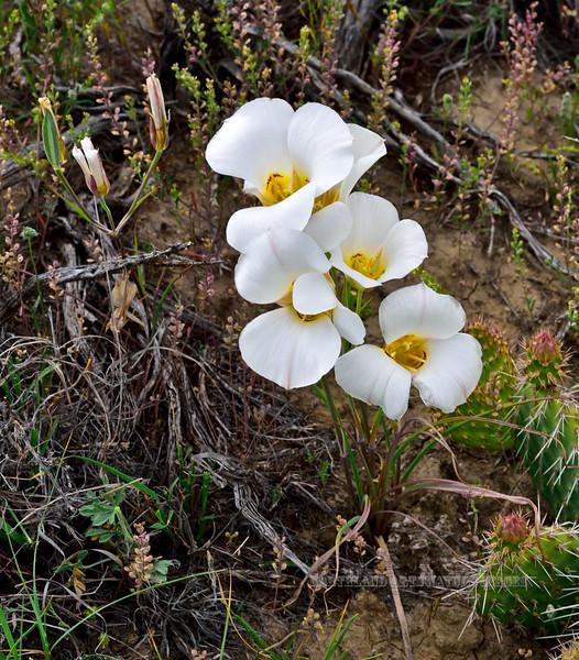 UT-F-Calchortus nuttallii 2019.6.18#936, the Sego Mariposa Lilly. Near Steinaker Lake Utah. The State Flower of Utah.