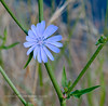 ID-F-Chicorium intybus 2018.7.1#3403. Common Chickory. A plant native to Europe that has become naturalized in North America. Salmon River, near Riggins Idaho.