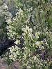 AZ-TS-Baccaris sergloides 2018.11.14#012, the Desert Baccaris or Desert Broom. East of Roosevelt, Arizona.