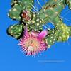AZ-CTS-Cylindropuntia fulgida 2018.6.19#492. A Chainfruit Cholla blossum. East end of Roosevelt Lake Arizona.