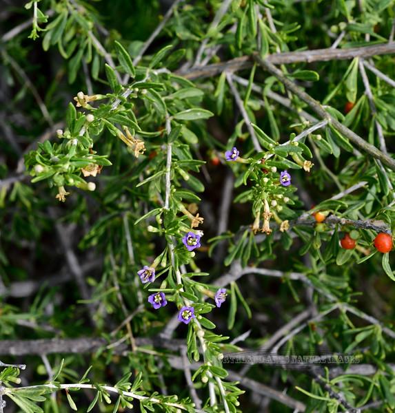 AZ-TS-Lycium andersonii 2020.3.22#5541.2X. Anderson's Wolf Berry. Near Antelope range Kofa NWR, Arizona.