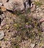 AZ-TS-Fagonia laevis, Fagonbush. 2020.2.25#6204.2. On the bank of an arroyo in the King Valley of Kofa Nat.Wildlife Refuge, Arizona.