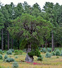 AZ-TS-Juniperus deppeana 2018.9.19#042.4. Alligator Juniper. A tree with a really unusual Basil buttress.