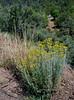 AZ-F-Senecio spartioides 2017.6.12#054.3. The Broom Groundsel in the upper foothills of Mingus Mountain Arizona..