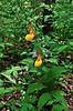 PA-F-Cypripedium calceolus var. pubescens 2010.5.6#048.4. Large Yellow Lady's Slipper. Bowman's Hill, Bucks County Pennsylvania.