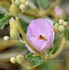AZ-F-Sphaeralcea ambigua 2019.3.15#151, the Desert Globemallow in a Pink form. Picacho Peak Arizona.