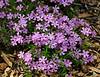 PA-F-Phlox subulata 2008.4.20#180.3. Moss-Pink. Bowman's Hill, Bucks County Pennsylvania.