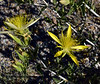 NV-F-Mentzelia laevicaulis 2018.6.30#5927.2. Blazing Star. Route 93 north of caliente Nevada.