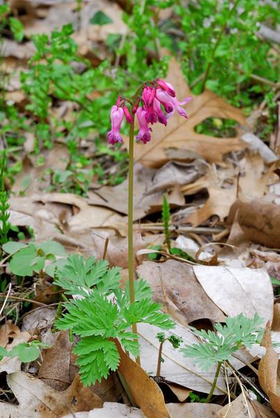 PA-F-Dicentra exima 2008.4.24#074, the Wild Bleeding Heart's. Bowman's Hill, Bucks County Pennsylvania.