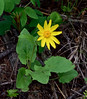 WY-F-Arnica cordifolia 2019.6.20#1446, theHeartleaf Arnica. Lamar Canyon, Yellowstone Park Wyoming.