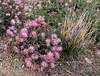 AZ-TS-Calliandra eriophylla 2018.4.7#175, the Fairy Duster. Madera Canyon, Arizona.