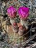 AZ-CTS-Echinocereus rigidissimus, var. arizonica 2019.5.27#020. The Arizona Rainbow cactus. Santa Rita Mountains, Arizona.