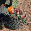 AZ-CTS-Opuntia macrocentra 2018.5.5#1222. The Black-spine Prickly Pear cactus. Northeast of Safford Arizona.