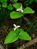 ID-F-Trillium ovatum 2014.5.11#124. Clearwater forest above Grangeville Idaho.
