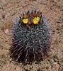 AZ-CTS-Ferocactus wislizeni 2020.6.10c#3587.2. Arizona Barrel Cactus. Tonto Basin near Lake Roosevelt Arizona.