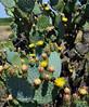 AZ-CTS-Opuntia chlorotica 2020.5.22#2981.3. Pancake prickly Pear cactus. Route 71 southwest of Congress Arizona.