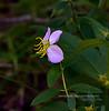 NJ-F-Rhexia virginica 2020.9.19#5525.3. Meadow Beauty. Cape May Meadows near the Light House, New Jersey.