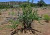 AZ-TS-Acacia greggii 2020.6.30#3763.3. The Catclaw Acacia. Red Rock Country, Arizona.