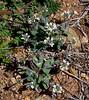 AZ-F-Thlaspi montanum 2020.3.28#6524.4. Wild Candytuft. Prescott Valley, Arizona.