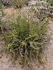 AZ-CTS-Cylindropuntia leptocaulis 2018.5.1#463. The Desert Christmas Cholla. Saguaro West Nat. Park Arizona.