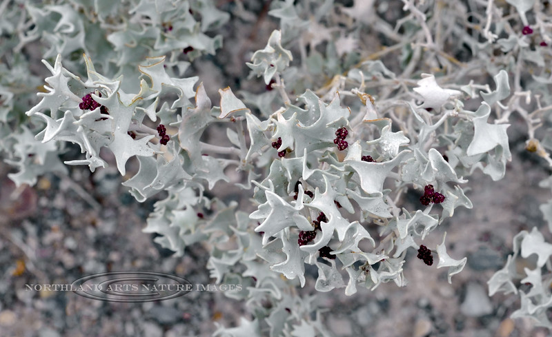 NV-TS-Atriplex hymenelytra 2018.12.5#004.3. The Desert Holly. The most drought tolerant of any plant in North America. North shore of  Lake Mead Nevada.