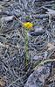 AZ-F-Triteleia lemmoniae 2019.6.5#333.2. The Lemmon's Star, a rare plant. North of Strawberry Arizona.