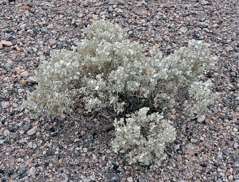 NV-TS-Atriplex hymenelytra 2018.12.5#005.3. Desert Holly. North shore of Lake Mead Nevada.