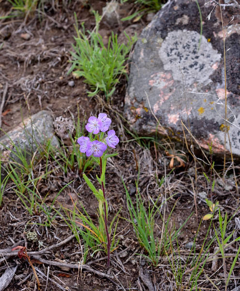 WY-F-Phacelia linearis 2019.6.20#1269, the Threadleaf Phacelia. East of Tower Junction, Yellowstone Park Wyoming.