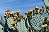 AZ-CTS-Opuntia chlorotica 2020.5.22#9834.3. Pancake Prickly Pear cactus. Route 71 southwest of Congress Arizona.