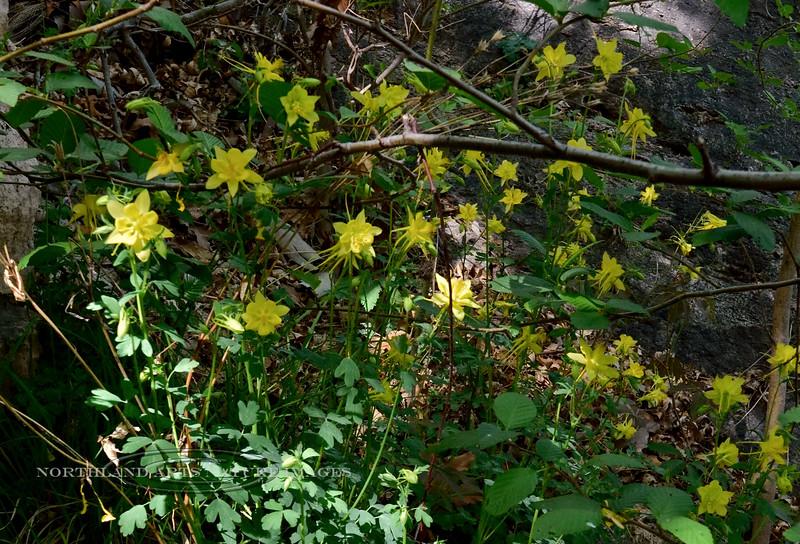 AZ-F-Aquilegia chrysantha 2018.4.18#123, the Yellow Columbine. Near Montezuma's Well, Verde Valley Arizona.