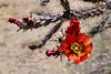 AZ-CTS-Cylindropuntia versicolor 2018.5.1#195. Staghorn Cholla. Saguaro West NP, Pima County Arizona.