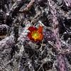 AZ-CTS-Cylindropuntia versicolor 2018.5.1#207. The Staghorn Cholla. Saguaro West NP, Pima County Arizona.