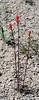 UT-F-Castilleja linariifolia 2019.6.18#480, the Wyoming Paintbrush. RT89, south of Marysville, UT.