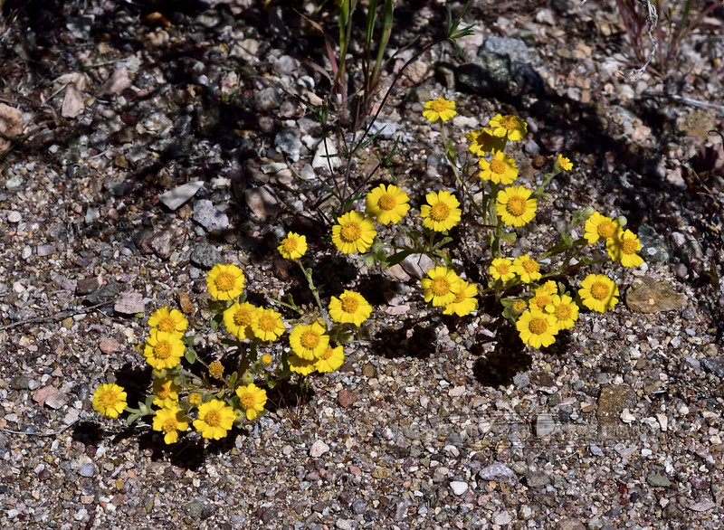 NV-F-Eriophyllum wallacei 2020.4.15#7246.3. Wallace's Woolly Daisy. Newberry Mountains Nevada.