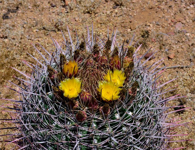 AZ-CTS-Ferocactus wislizeni 2020.6.10d#0719.2. Arizona Barrel Cactus. Tonto Basin, Arizona.