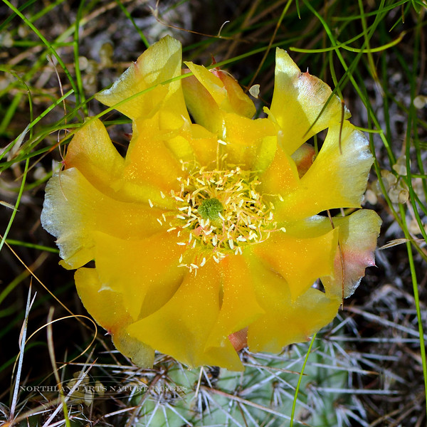 WY-CTS-Opuntia fragilis 2018.7.4#3041, the Brittle Prickly Pear Cactus. Rescue Creek, Yellowstone Park Wyoming.