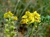 AZ-F-Solanum rostratum 2018.8.23#008, the Buffalo Bur. A nasty invasive species. Upper Agua Fria, Yavapai County Arizona.