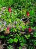 PA-F-Aquilegia canadensis 2012.4.24#076.3. Wild Columbine. Bowman's Hill, Pennsylvania.