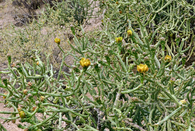 AZ-CTS-Cylindropuntia arbuscula 2018.5.1#455. The Arizona Pencil Cholla. Sonoran Desert Arizona.