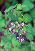 WY-F-Thalictrum occidentale 2019.6.20#1717. Western Meadow-Rue, female flowers. Canyon campground area, Yellowstone Park Wyoming.