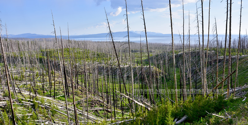 WY-2018.7.4#5506.A scene showing the first green pioneering plants rebuilding the landscape after the devastation of this lodgepole forest from Fire. Yellowstone NP Wyoming.