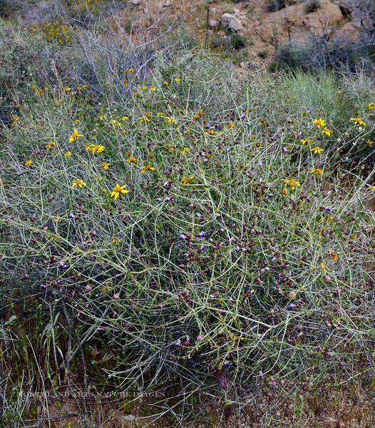 AZ-TS-Salazaria mexicana 2020.4.21#9971.3. Bladdersage. Mohave desert near Golden Valley Arizona.